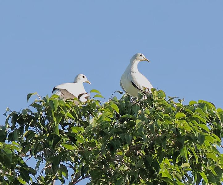 Torresian Imperial Pigeons