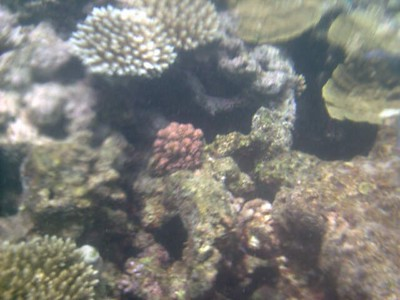 corals, Hastings Reef