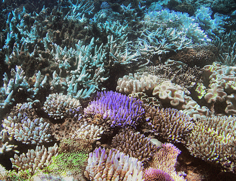 Coral - Great Barrier Reef