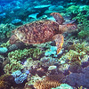 Green Sea Turtle - Great Barrier Reef