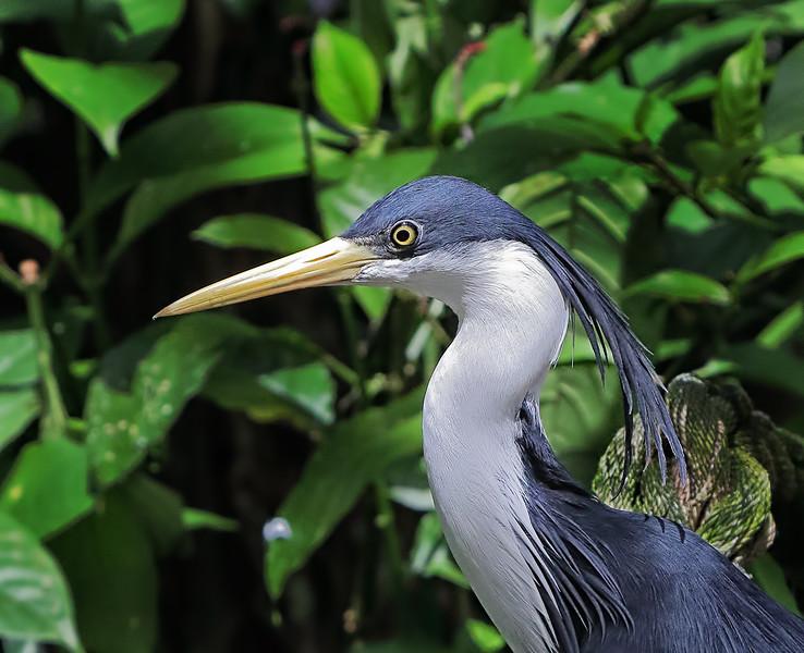 Pied Heron