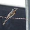 Leaden Flycatcher - Female - Green Island, Great Barrier Reef