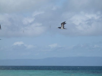 Brown Booby at Michaelmas Cay with mainland mountains in the background