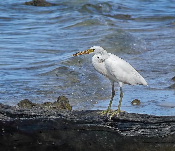 Pacific Reef Heron-White Morph - Green Island, Great Barrier Reef