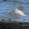Pacific Reef Heron-White Morph - Green Island, Great Barrier Reef