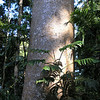 Kauri pine bark self-cleans - it sheds flakes so nothing can grow up it for any distance.