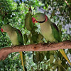 Alexandrine Parrots - Female and Male
