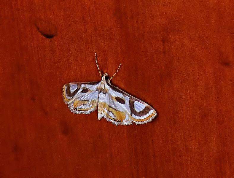 Thallarcha_albicollis Moth