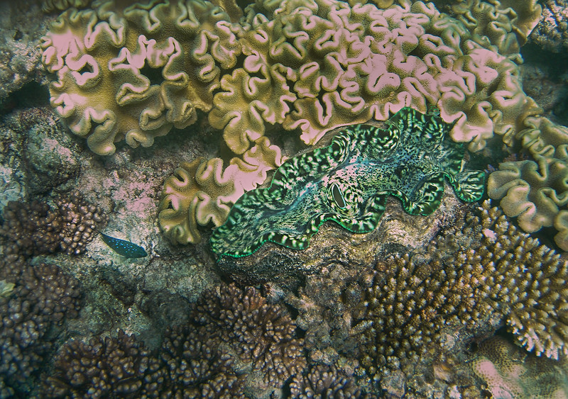 Coral, Giant Clam and Fish - Great Barrier Reef