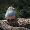 Blue Breasted Cordon-bleu Waxbill Finch