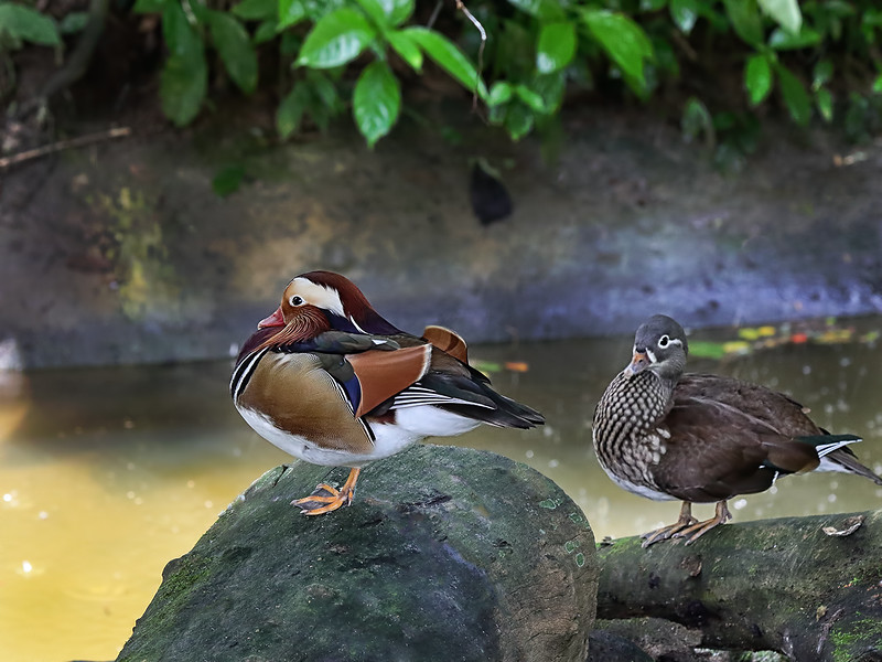 Mandarin Ducks - Male and Female