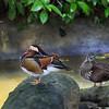 Mandarin Ducks - Male and Female