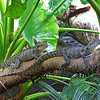 Eastern Water Dragon - Freshwater Crocodile
