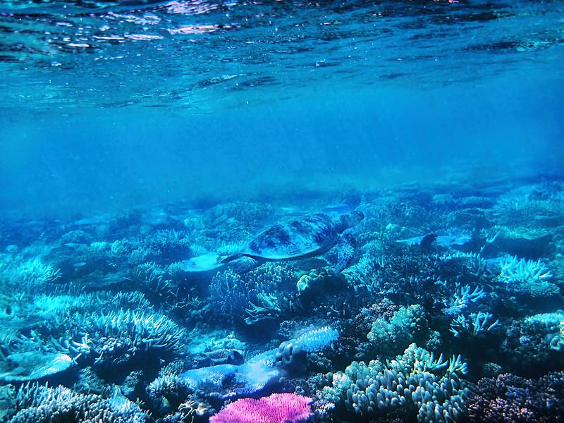 Green Sea Turtle - Great Barrier Reef
