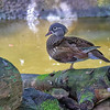 Mandarin Duck - Female