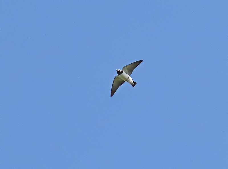 White-breasted Woodswallow - Green Island, Great Barrier Reef