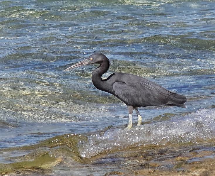 Pacific Reef Heron-Dark Morph - Green Island, Great Barrier Reef