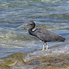 Pacific Reef Heron-Dark Morph - Green Island, Great Barrier Reef