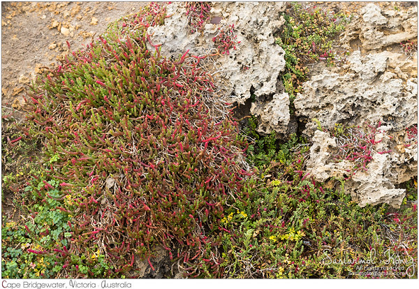 Beaded Glasswort
