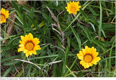 Yellow Coastal Gazania rigens (treasure flower)