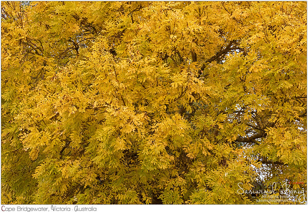 Deciduous Ash tree.. pretty shades of Yellow