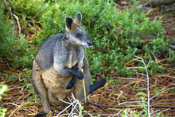 Griffith Island wallaby