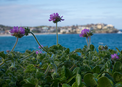 Purple blossoms near Bondi beach