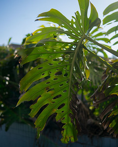 Holey leaf