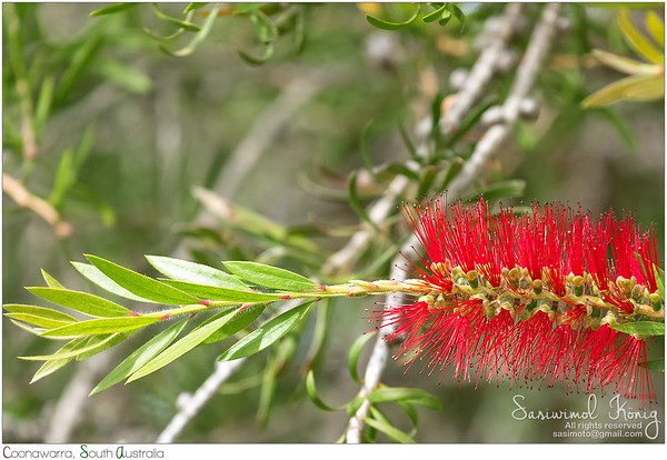 Scarlet Bottlebrush flower