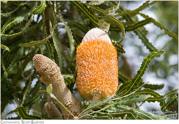 Inflorescence of Banksia prionotes, (Acorn Banksia)
