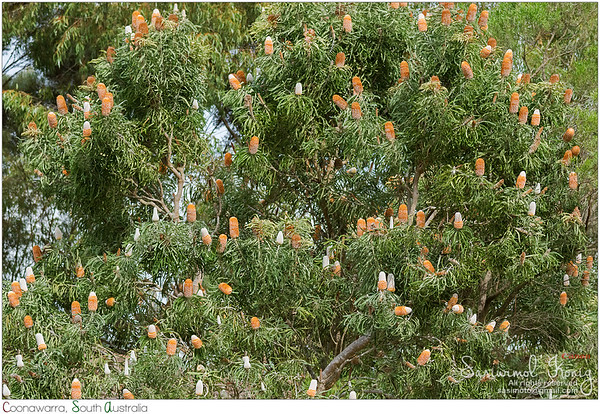 Banksia prionotes (Acorn Banksia)