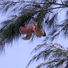Galah in a Casuarina tree