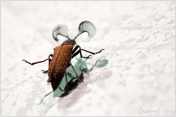 Feather-horned Beetle on our windshield