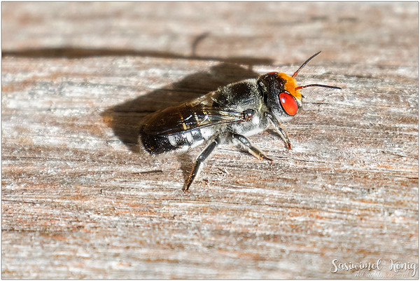 Native aurifrons resin bee (Megachile aurifrons)
