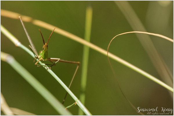 This grasshopper was jumping around. The chirping sound is also cute.