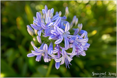 Lily of the Nile, African Lily