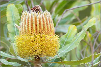Flowers of Firewood Banksia
