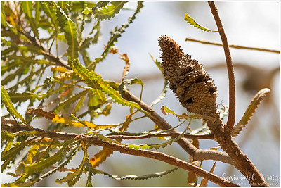 The spent flower spikes of Banksia
