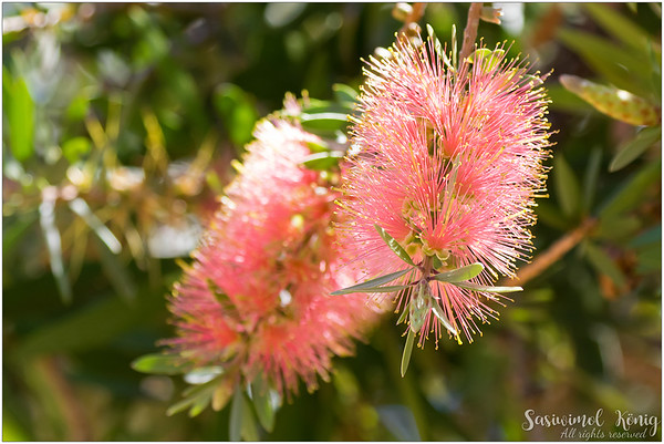 Bottlebrushes (Callistemon) in pink Champagne shade with gold tips