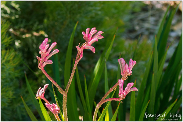 The mauve pink Kangaroo Paw