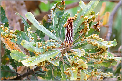 Flower buds of Firewood banksia (Banksia menziesii) with many galls