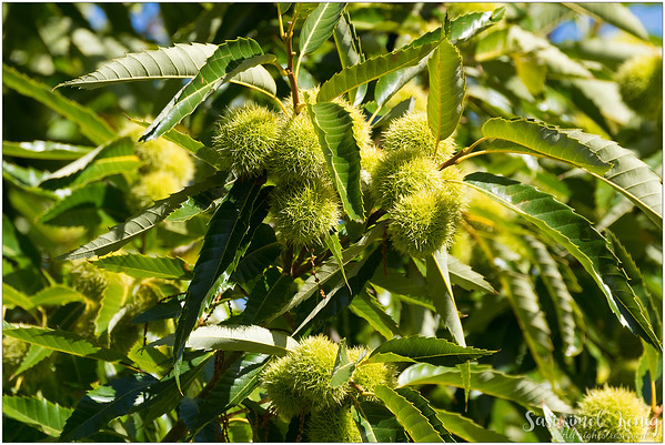 Chestnut tree growing beautifully at Nannup Lavender Farm
