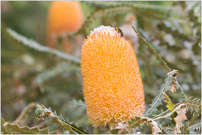 Woolly Orange Banksia (Banksia victoriae) ? with serrated leaves and beautiful white inflorescences