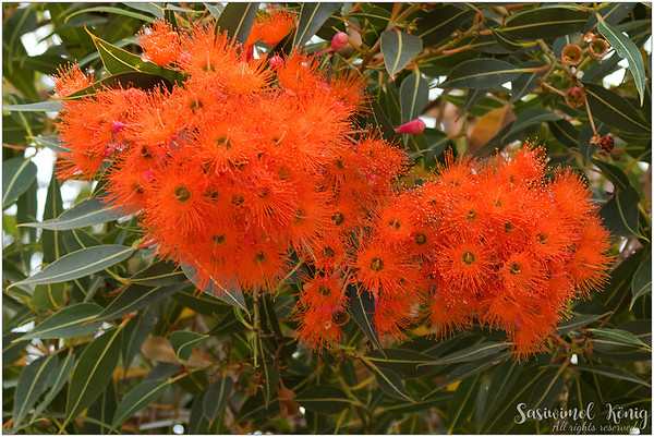Albany red flowering gum