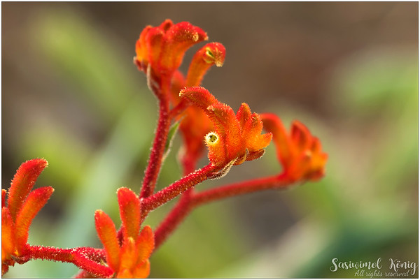 Orange Kangaroo Paw