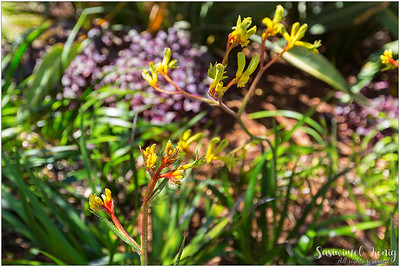 Greenish-yellow Kangaroo Paw