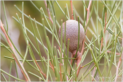Cricket Ball Hakea.. makes me wanna eat corndog!