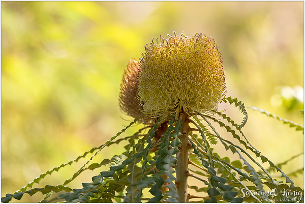 Banksia ?