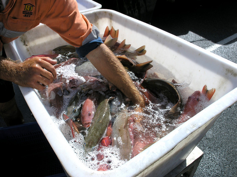 Coral Trout being transferred to holding tanks