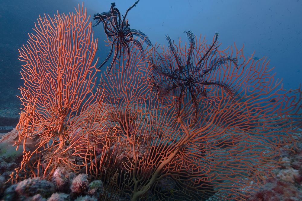 Sea fans and sea stars on the Great Barrier Reef